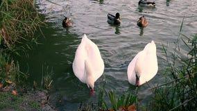 Pares de cisnes blancos que comen el pan almacen de video