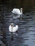 Pares de cisnes bonitas Imagens de Stock Royalty Free