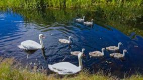 Pares de cisnes com cisnes novos Fotos de Stock