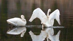 Pares de cisnes de trompetista que refletem ao espalhar suas asas no Yellowstone River fotos de stock royalty free