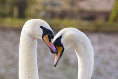 Pares de cisnes em Bruges, Bélgica, Fotos de Stock