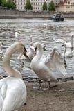 Pares de cisnes em um rio de Vltava em Praga Fotos de Stock