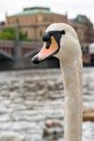 Pares de cisnes em um rio de Vltava em Praga Imagens de Stock Royalty Free