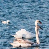 Pares de cisnes en el mar Fotografía de archivo