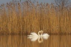 Pares de cisnes en la salida del sol del amor Imagen de archivo libre de regalías