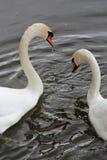 Pares de cisnes - Francia Fotografía de archivo