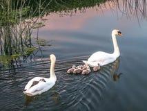 Pares de cisnes mudas com cisnes novos - por do sol Imagem de Stock Royalty Free