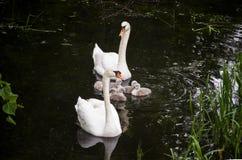 Pares de cisnes mudas (olor do Cygnus) com maca Fotografia de Stock Royalty Free