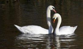 Pares de cisnes mudos fotografía de archivo