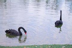 Pares de cisnes negros cariñosos Imagen de archivo libre de regalías