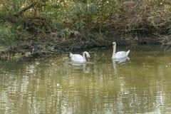 Pares de cisnes perto da costa no lago Mincio, Mantua, Itália Fotografia de Stock Royalty Free