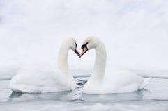Pares de cisnes que dão forma ao coração Imagem de Stock Royalty Free