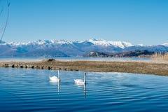 pares de cisnes que nadam pacificamente ao longo do rio Fotografia de Stock