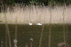 Pares de cisnes selvagens com os juncos no fundo Imagem de Stock Royalty Free