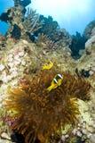Pares de clownfish com seu anemone. imagem de stock