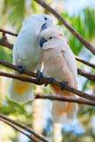 Pares de cockatoo Imagenes de archivo