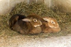 Pares de coelhos do animal de estimação imagens de stock