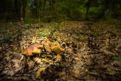 Pares de cogumelos do porcini Imagem de Stock