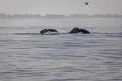 Pares de colas de la ballena del humback Fotos de archivo