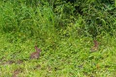 Pares de conejos salvajes del bebé joven Foto de archivo libre de regalías