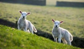 Pares de corderos de la primavera Imagen de archivo libre de regalías