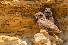 Pares de corujas pequenas ou de noctua do Athene na rocha Imagens de Stock Royalty Free
