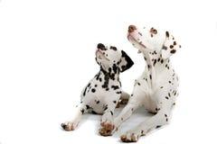 Pares de dalmatians Foto de Stock Royalty Free