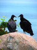 Pares de datar dos abutres Fotos de Stock Royalty Free