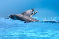 Pares de delfínes en el agua azul Imagen de archivo