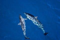 Pares de delfínes del hilandero del hawaiin Foto de archivo libre de regalías