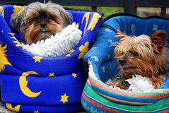 Pares de dois cães de Yorkshire fotografia de stock royalty free