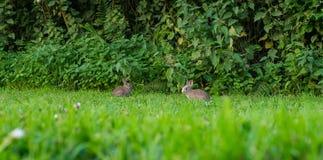 Pares de dois coelhos do bebê que comem a grama Imagem de Stock