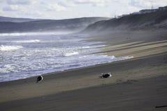 Pares de dominicanus do larus das gaivotas da alga na praia da tarde imagem de stock royalty free