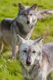 Pares de dos norteamericano Gray Wolves, Canis Lupus Imagen de archivo libre de regalías