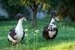 Pares de pares dos patos em meu jardim Fotos de Stock Royalty Free