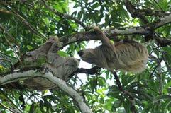 Pares de dos perezas de la punta en el árbol, Costa Rica Foto de archivo libre de regalías
