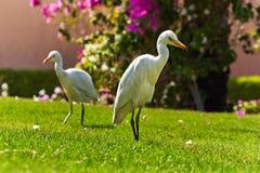 Pares de Egret de gado ocidental Fotos de Stock