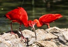 Pares de escarlate dos íbis (ruber), pássaros cena de Eudocimus, beleza em n Imagem de Stock Royalty Free