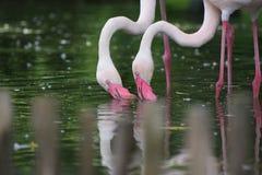 Pares de flamencos rosados en el agua Imagen de archivo