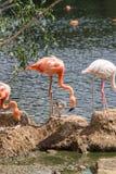 Pares de Flamigoes cor-de-rosa com o homem acima da fêmea em uma lagoa Foto de Stock Royalty Free