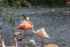 Pares de Flamigoes cor-de-rosa com o homem acima da fêmea em uma lagoa Imagem de Stock Royalty Free