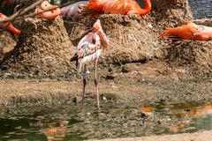 Pares de Flamigoes cor-de-rosa com o homem acima da fêmea em uma lagoa Fotografia de Stock