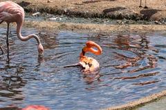 Pares de Flamigoes cor-de-rosa com o homem acima da fêmea em uma lagoa Imagens de Stock Royalty Free