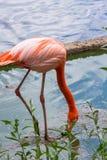 Pares de Flamigoes cor-de-rosa com o homem acima da fêmea em uma lagoa Fotografia de Stock Royalty Free