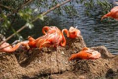 Pares de Flamigoes cor-de-rosa com o homem acima da fêmea em uma lagoa Imagens de Stock