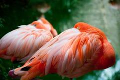 Pares de flamingos foto de stock