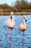 Pares de flamingos bonitos Imagens de Stock
