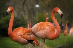 Pares de flamingos das caraíbas em um dia nebuloso fotos de stock royalty free