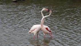 Pares de flamingos de combate, Camargue, França vídeos de arquivo