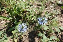 Pares de flores azuis de Nigella foto de stock